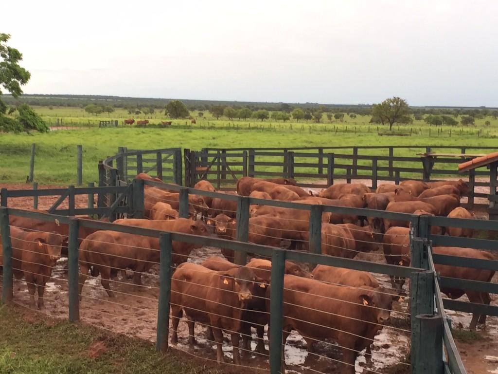 Mangueiro lotado na Paranoá, com touros da geração 2014 em avaliação no Geneplus.