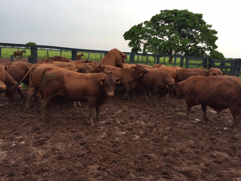 Geneplus avaliou 80 touros entre 15 e 16 meses de média, registrando 515kg de peso e 35cm de CE.