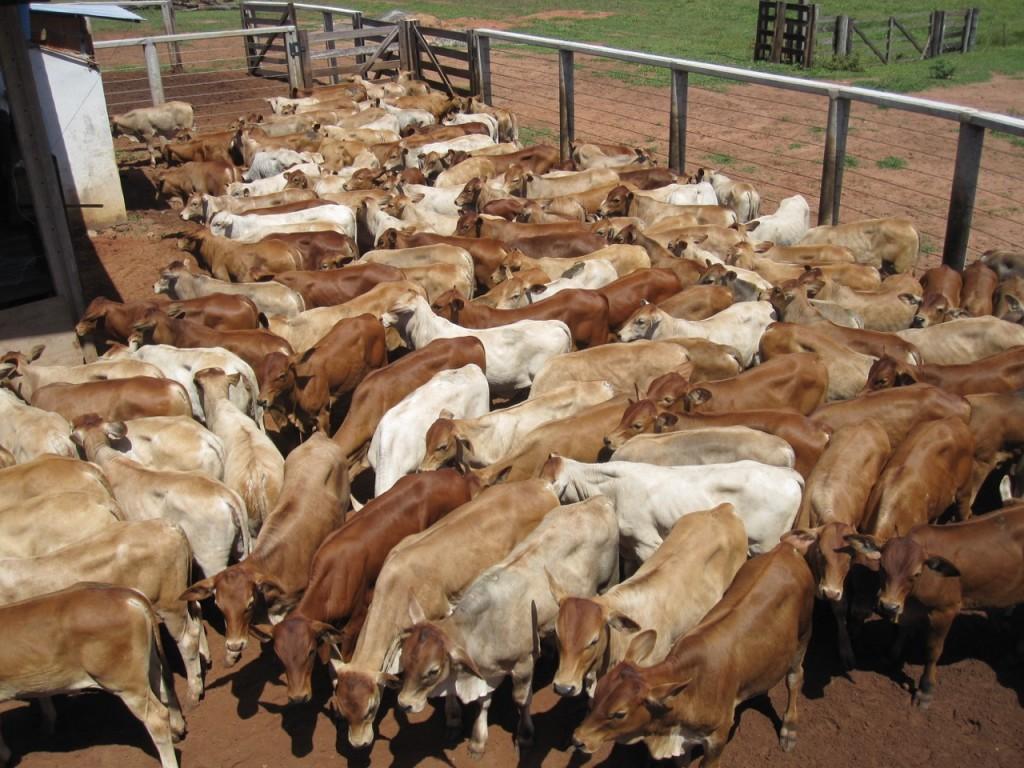 Bezerros Meio Sangue – Paranoá Senepol | Fazenda Santa Rita