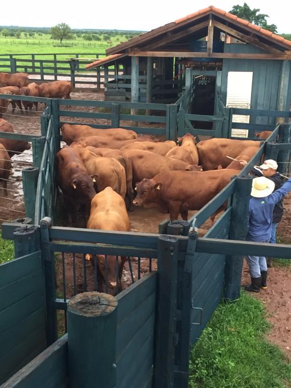 Equipes da Paranoá e do Geneplus apartam tourinhos ao sobreano para avaliação. (Fotos: Assessoria de Comunicação Paranoá Senepol)